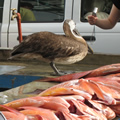 pelican at fish market
