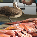 a hungry pelican