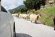 sheep from car window