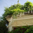 wisteria on roof